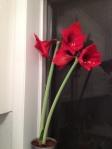 Amaryllis in bloom_2013