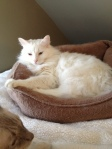 Buddy Boo in the cat bed