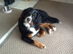 My Aunts Dog: Tuukka (and my favorite breed of dog: Bernese Mt. Dog)