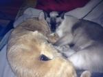 Love Moment: Sammy and Azz (Siamese)