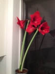 Amaryllis in bloom_2013