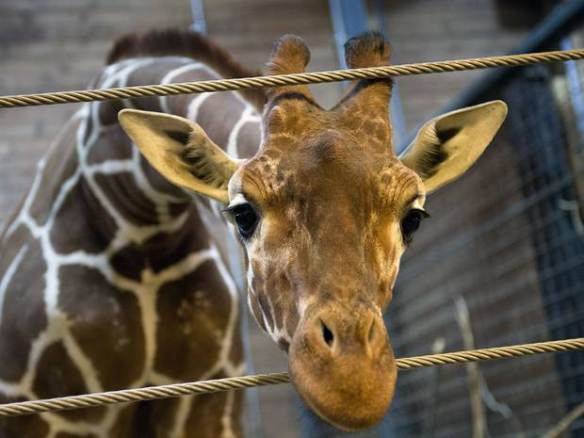 If you're really saddened by the death of Marius the giraffe, stop visiting zoos