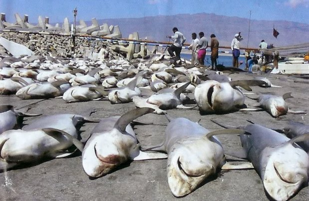 People Kill More Than 11,400 Sharks EVERY HOUR(Infographic)